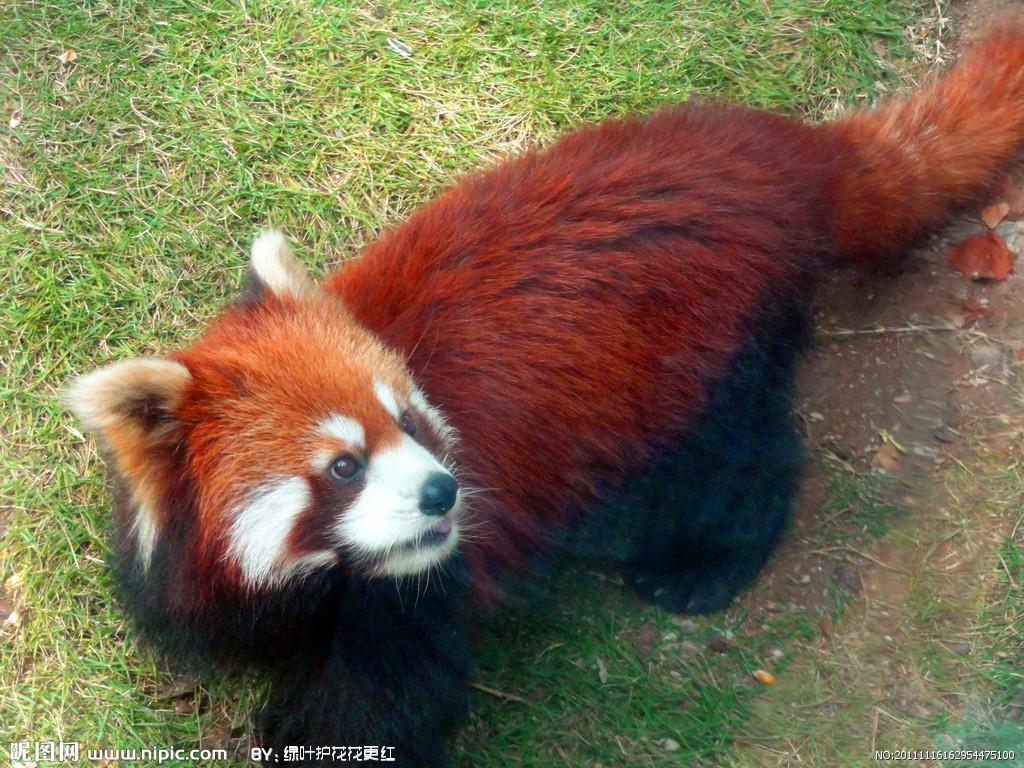 小熊猫为什么不能成为大熊猫?