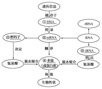 基因指导蛋白质的合成与基因对性状的控制